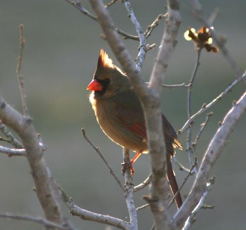 lady-cardinal